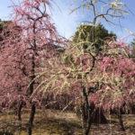 3月11日(日)16日(金)城南宮のしだれ梅と水とお酒のまち 伏見を満喫する旅