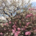 2月25日(日)北野天満宮の梅花祭と上七軒ランチ