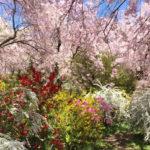【満席】4月15日(日)まさに桃源郷 原谷苑と雨宝院の桜の旅