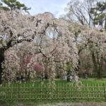 4月8日(日)京都御苑の桜と今宮神社のやすらい祭の旅