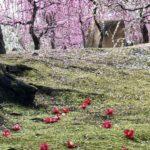城南宮のしだれ梅を下見してきました。