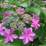 【思い出の紫陽花の旅レポート】三室戸の蓮、紫陽花、さわらびの道を巡り、薬膳ランチを楽しみました